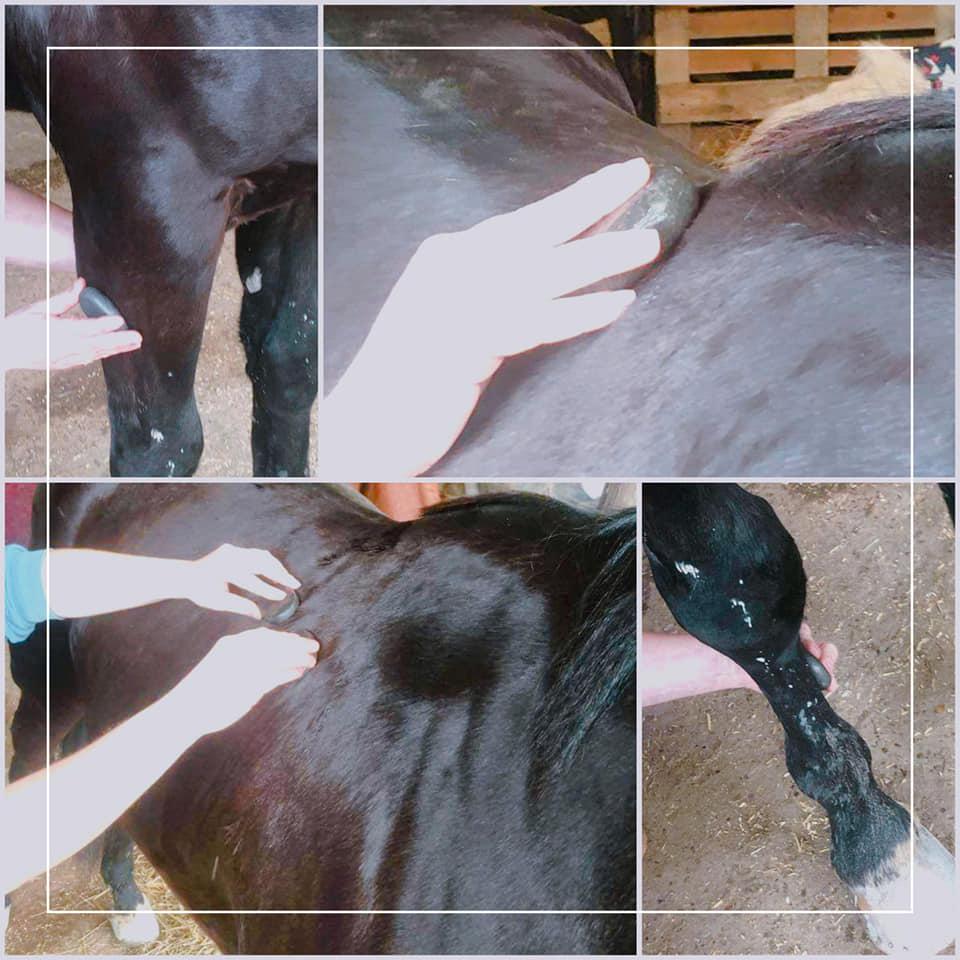 massage chevaux, poulinage, élevage, trotteur, equi'forme, massage aux pierres chaudes massage sportif équin