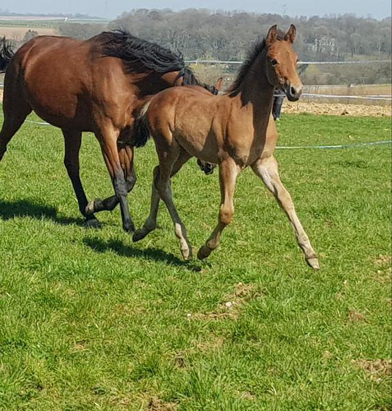 élevage de chevaux Pas-de-Calais